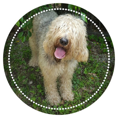 happy otterhound outside with tilted head